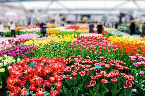 Holandia - Parada Kwiatów